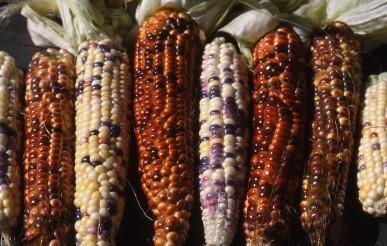 Multi-coloured corn