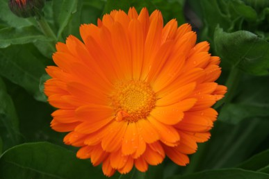 Bright orange marigolds