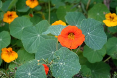 Red, yellow and orange nasturtiums