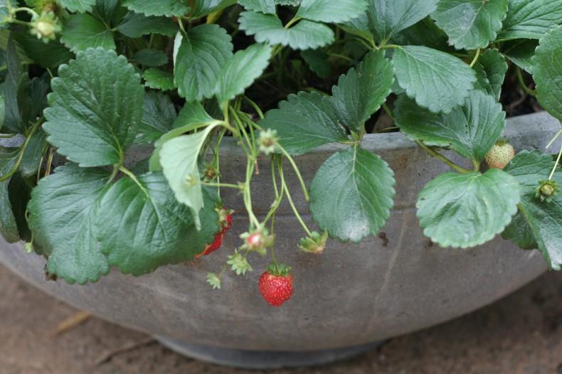 Juicy red strawberries