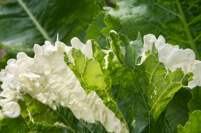 Variegated horseradish leaves