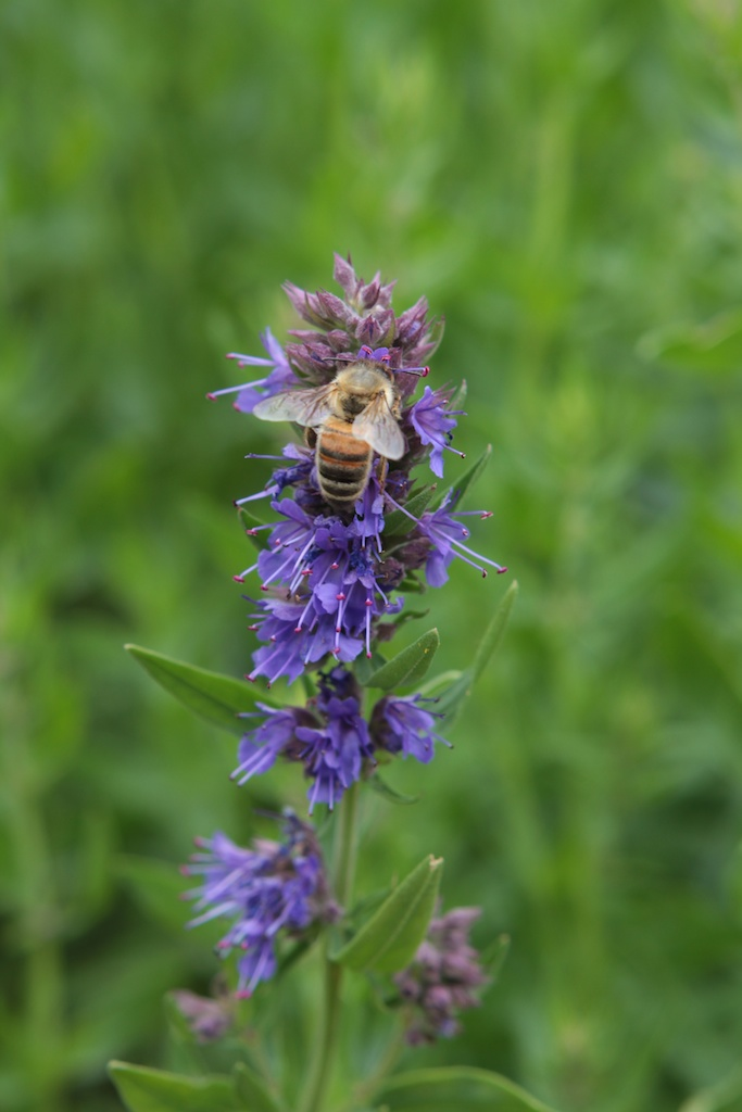 Hyssop Has Charming Flowers And Many Uses By Penny Woodward