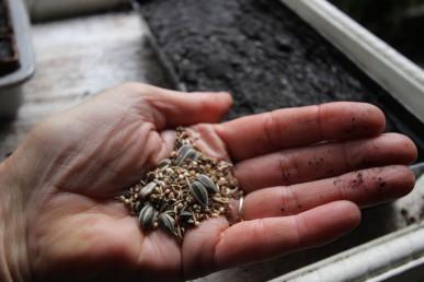 Microgreen seed