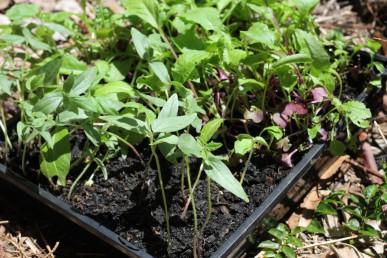 Microgreens for chooks