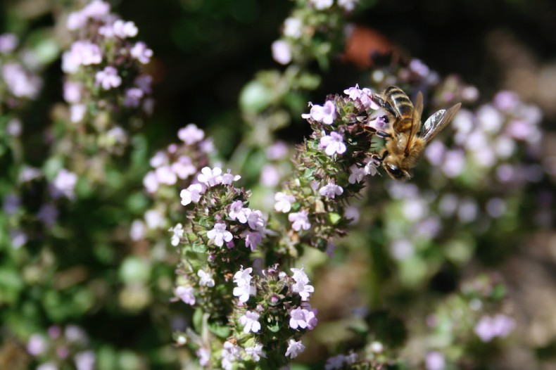 Bee and thyme