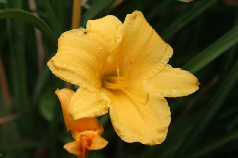 Bright yellow day lily flower