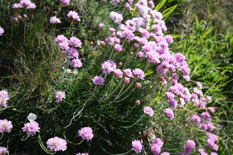 Pink flower of thrift