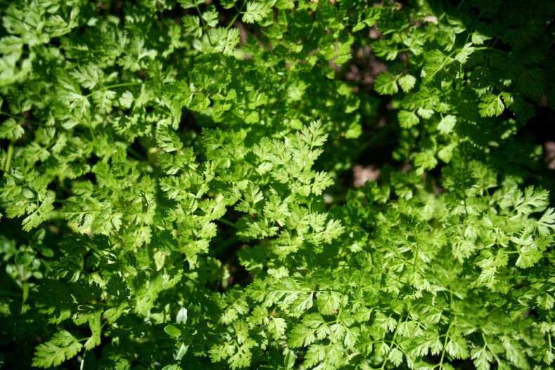 Bright green chervil leaves