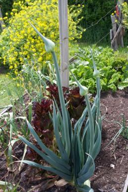 Leek cultivar