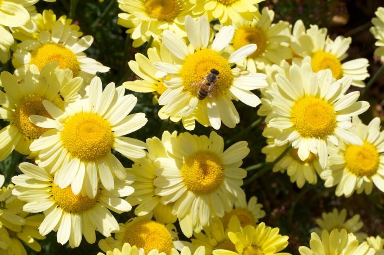 Butter yellow flowers