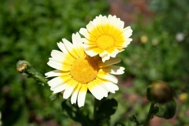 Shungiku flowers