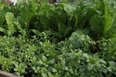 Shungiku in front of mustard greens