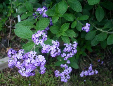 Heliotrope flowers have a sweet cherry scent