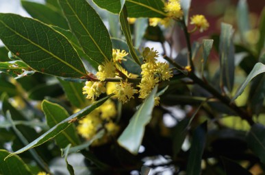 Bay trees protect your garden from being struck by lightening