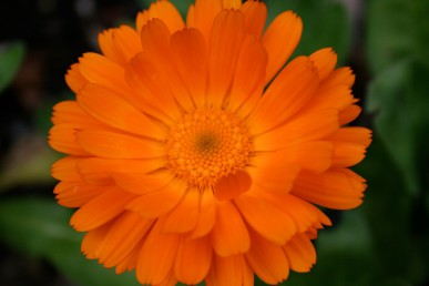 Marigold flowers rubbed on a sting reduce pain and inflammation.