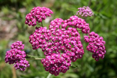 Cerise yarrow should be hung in the toolshed