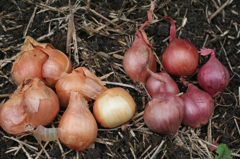 Golden and red shallot bulbs can be planted now.