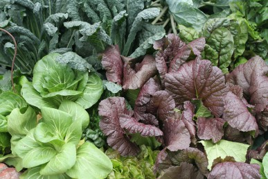 Pak choy with Tuscan kale and red mustard.