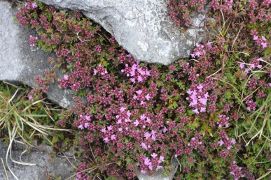 Wild thyme, growing in the limestone