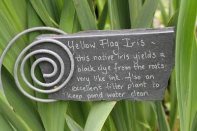 Yellow flag iris (1)