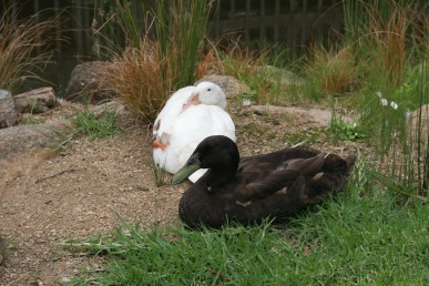 Ducks, help to control snails and slugs