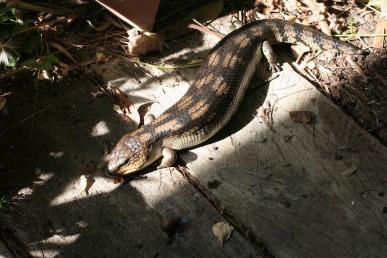My resident blue tongue lizard