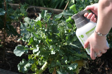 Spraying coffee onto broccoli to protect from snails and slugs